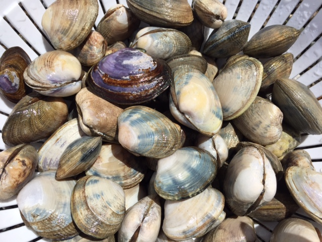 Clams in a stack